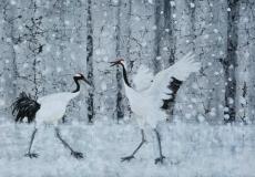 Ballet de grues du Japon